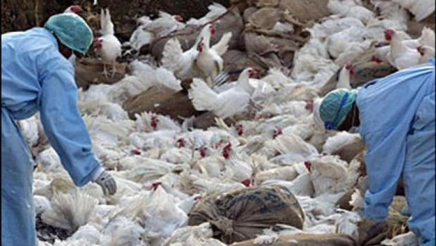 २६ हजार बर्ड फ्लू रोगी कुखुरा नष्ट